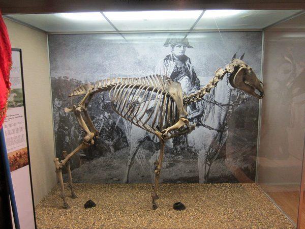 Szkielet Marengo na wystawie w National Army Museum. Jak widać - bez przednich kopyt.
