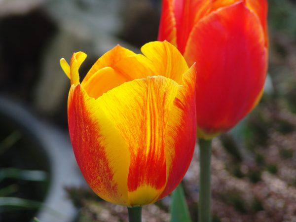 Tulipany od wieków są jedną z wizytówek Niderlandów. Ale czy naprawdę płacono za nie astronomiczne kwoty?