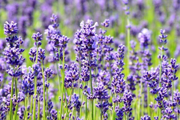 Nasze prababcie znały moc tych niepozornych kwiatków. (fot. Silar, lic. CC BY-SA 3.0).
