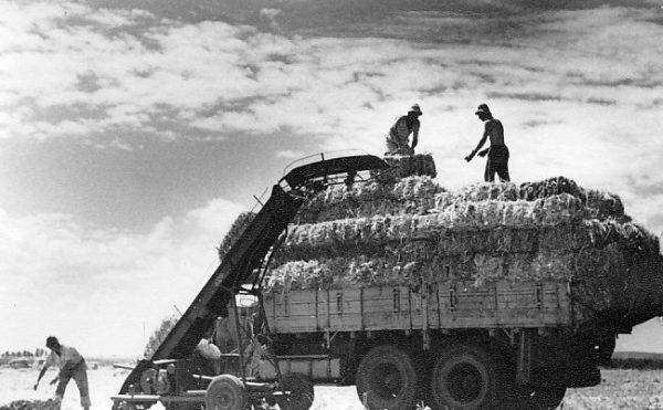Kibuce opierają się na zasadzie wspólnego działania członków społeczności. Farmy korzystają przy tym ze zdobyczy współczesnej techniki. Na zdjęciu kibuc Gan Shmuel w latach 50. XX wieku.