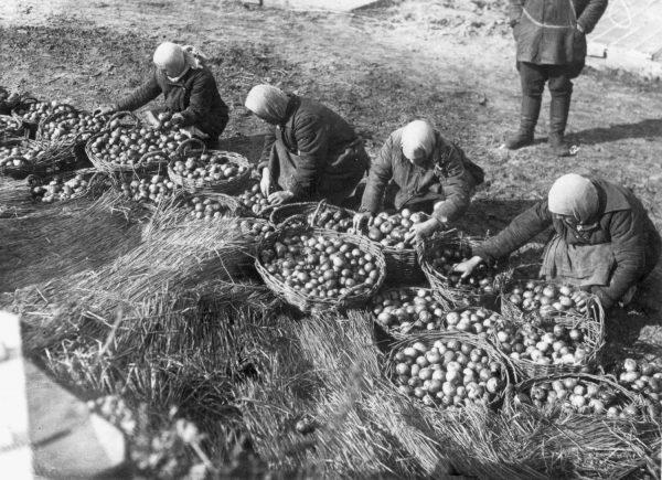 """Według oficjalnej propagandy nie było żadnego głodu na Ukrainie. Na zdjęciu propagandowym obfite zbiory pomidorów. Fotografia z książki """"Czerwony Głód""""."""