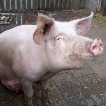 Świnia (fot. domena publiczna)