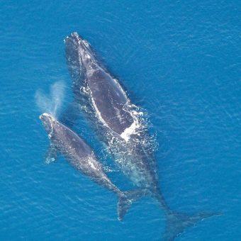 Wal biskajski (fot. domena publiczna)
