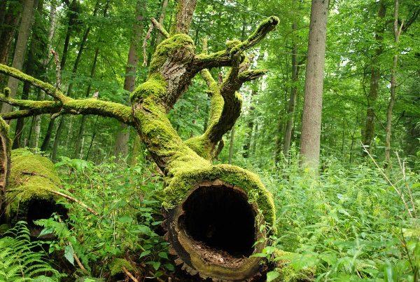 Jak wiele informacji można wyczytać z pni drzew... (fot. Jacek Karczmarz, lic. GNU FDL)