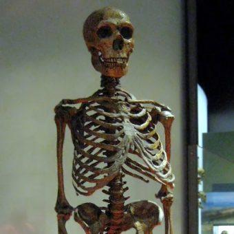 Szkielety naszych praprzodków możemy podziwiać między innymi w Amerykańskim Muzeum Historii Naturalnej. Zdjęcie poglądowe.