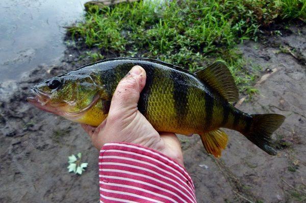 Okonie z czasów stanu wojennego niewiele miały wspólnego ze smaczną rybą o tej samej nazwie (fot. domena publiczna).