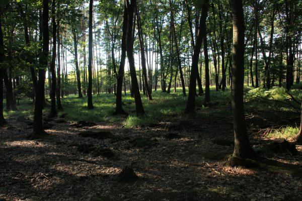 Dziś na terenie liczącego ponad 9 tysięcy hektarów pożarzyska rośnie już las. Jednak by ślady tragedii całkowicie zniknęły, trzeba jeszcze co najmniej 70 lat.
