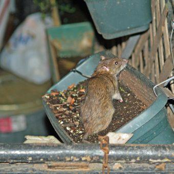 Dieta szczurów mieszkających w mieście w XIX wieku była bogata w mięso. Ich kuzyni ze wsi jedli je zdecydowanie rzadziej.