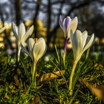 Zima wasza, wiosna nasza! to jedno z najsłynniejszych haseł stanu wojennego. Na zdjęciu krokusy, jeden z najpopularniejszych symboli wiosny (fot. FelixMittermeier, lic. CC0)