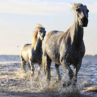 Konie (fot. domena publiczna)
