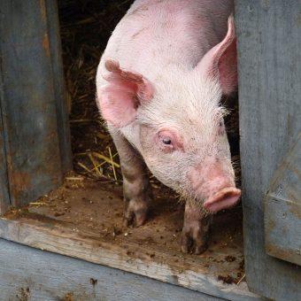 Młoda świnia (fot. liz west, CCA SA 2.0)