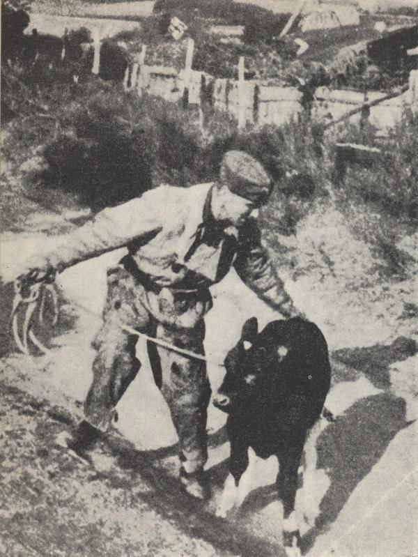 Niemiec konfiskujący bydło w okupowanej Polsce. Komuniści w miejsce nazistowskich kontyngentów wprowadzili własne i utrzymali je aż do lat 70. (fot. domena publiczna)