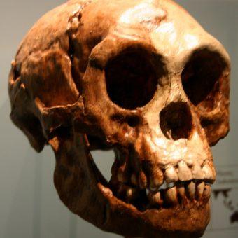 Nowy gatunek był nawet mniejszy od tak zwanych hobbitów (na zdj. czaszka przedstawiciela Homo floresiensis).
